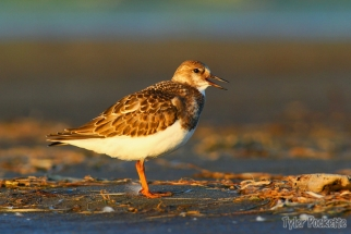 Ruddy Turnstone, Shelburne