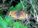 Crescent butterfly