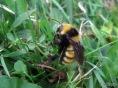 Northern Amber Bumblebee