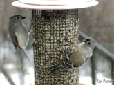 Tufted Titmice and American Goldfinch