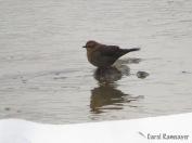 Rusty Blakbird