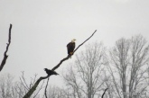 Bald Eagle and Raven