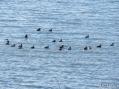 Mallards and Black Ducks