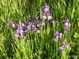 Native Blue Iris