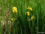 Invasive Yellow flag Iris