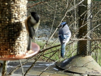 Blue Jay and Chickadee