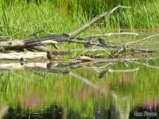 Reflected Green Heron